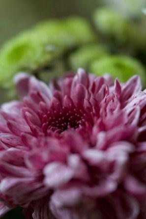 Tina Bettison - Pink Chrysanth