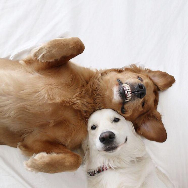 собака зевает