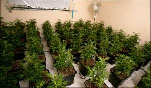 cannabis-682_1045135a