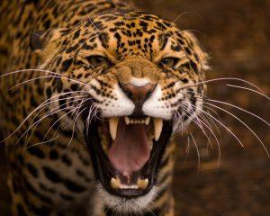teeth_jaguar_cat_eyes_63845_1280x1024