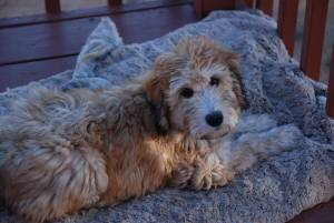 Finn-Whoodle-pup