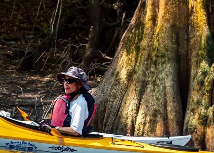 Kayaker in eddyline kayak in front of large cypress tree root.
