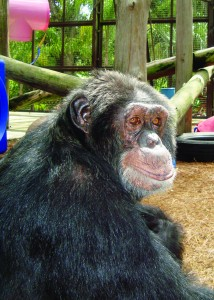 Once owned by Michael Jackson, Bubbles is a resident of the Center for Great Apes.