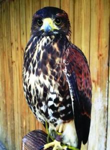 Riv_Molted Falcon