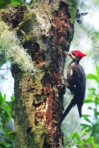 dr robert norman article pileated woodpecker