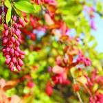 الزرشــك.. حبات بلون الياقوت وفوائد مذهلة