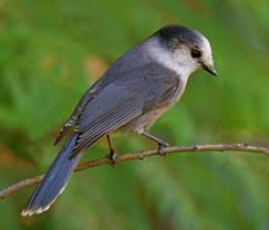 Country Ecology: Gray Jays