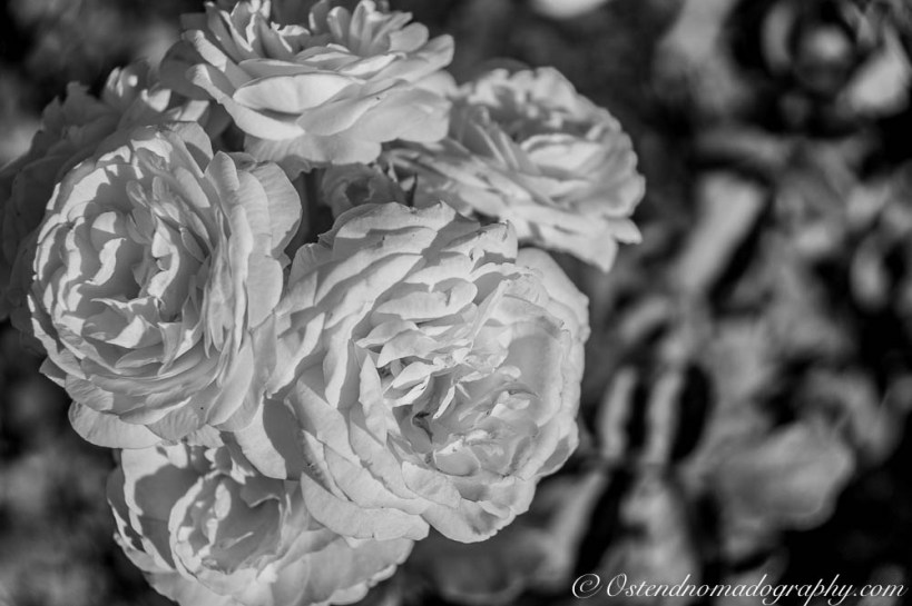 Black & White Rose @Paseo Del Rosedal