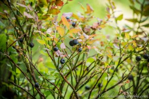 Wild Blue Berries