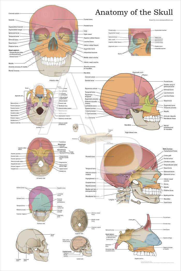 human skull landmarks diagram onan generator starter wiring anatomy poster 24 x 36
