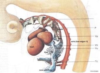Hinrichsen www.embryologisch.nl