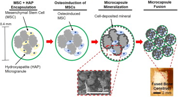 Scalable MSC-derived Bone Tissue Modules