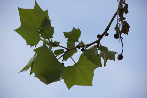 Sycamore leaf cluster and fruit