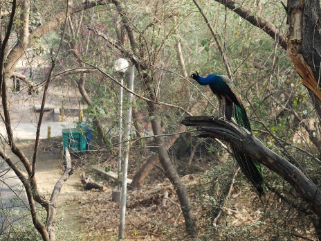 Balaji's peacocks