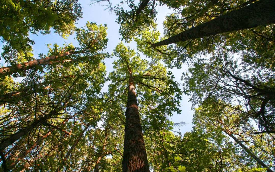 Westlake Oak Woodland: Restoring a Vanishing Habitat