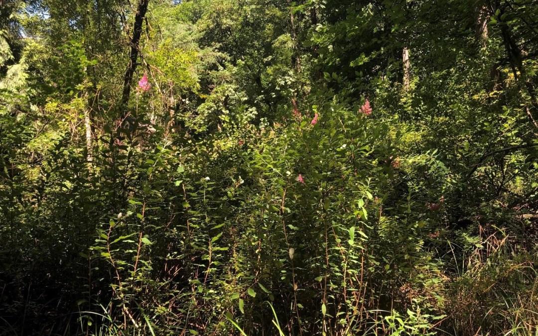 Spiraea douglasii, in the forest