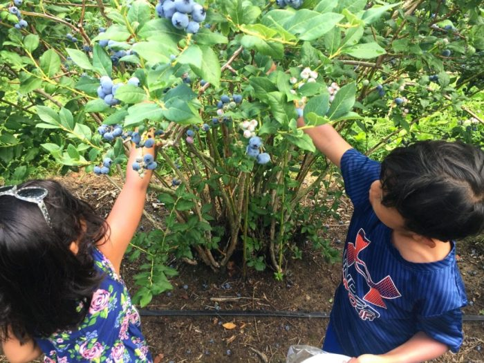 Have a sweet time blueberry picking at DeGrandchamp Farms in South Haven Michigan, the blueberry capital of the world.