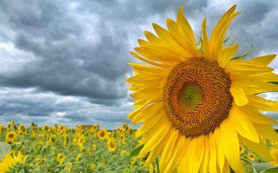 Revisiting Von Bergen's Sunflower Maze