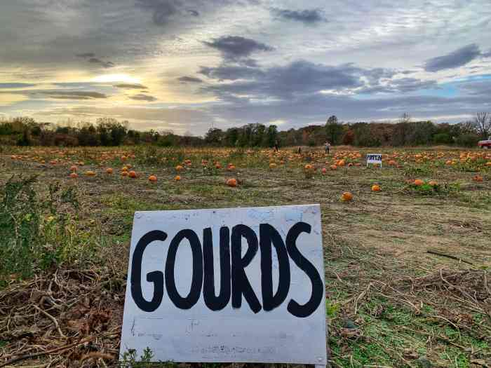 Pumpkin picking at Enjoy Pioneer Farm in Hampshire. The no-frills farm lets you pick pumpkins from the field.