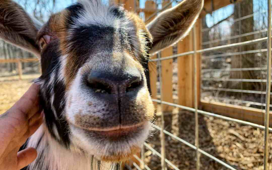Walk Goats at Nature's Trail Yoga