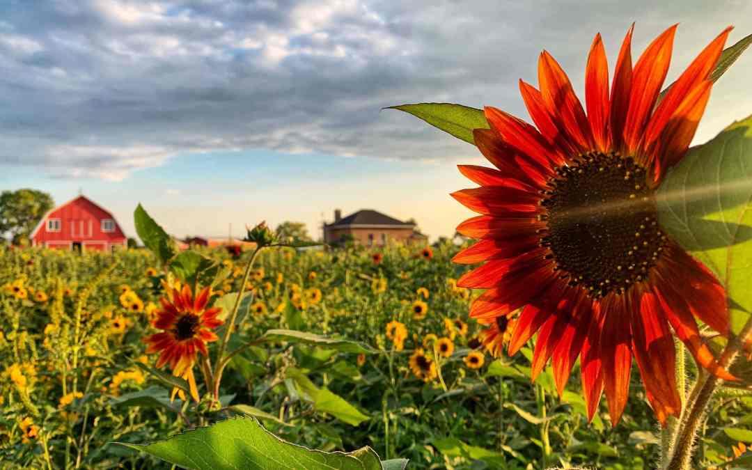 Sunflower Festival at Richardson Farm