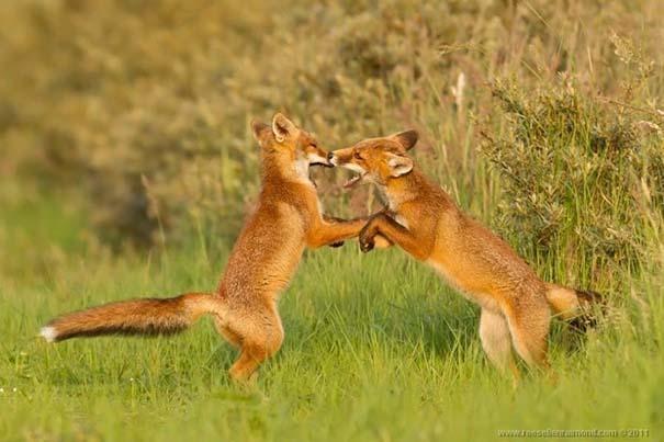 Σπάνιες και υπέροχες φωτογραφίες της Κόκκινης Αλεπούς (8)