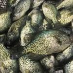 Ottertail Pan Fishing
