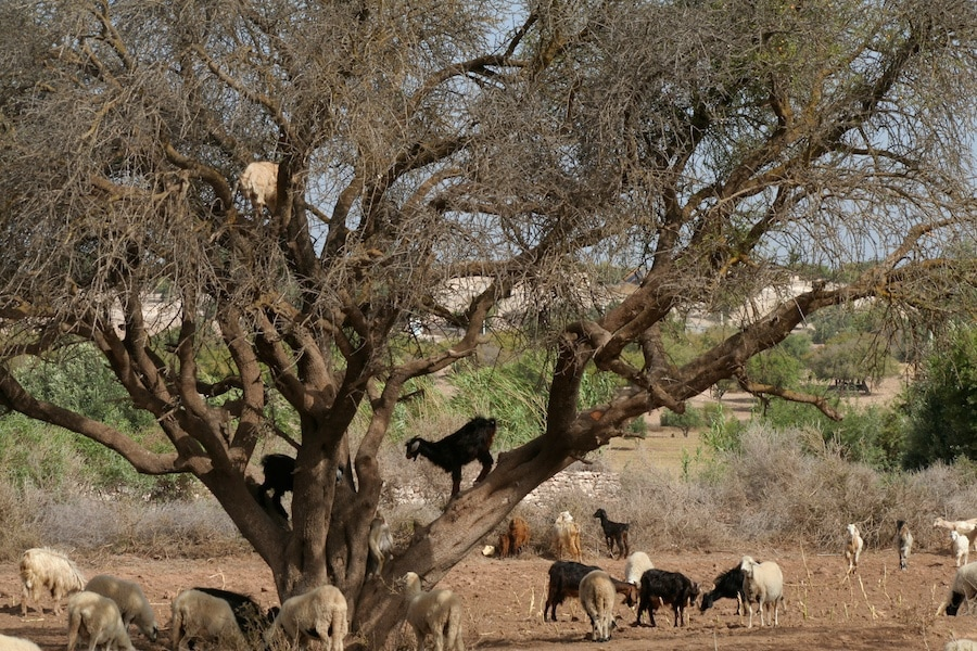 Argan Tree Climbing Goats in Morocco