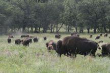 south dakota buffalo3