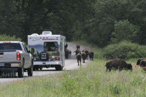 south dakota buffalo8