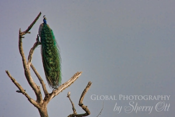 peacock in a tree
