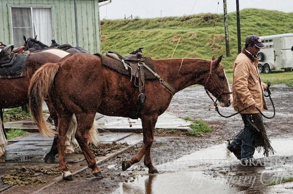 hawaiian cowboy cattle drive
