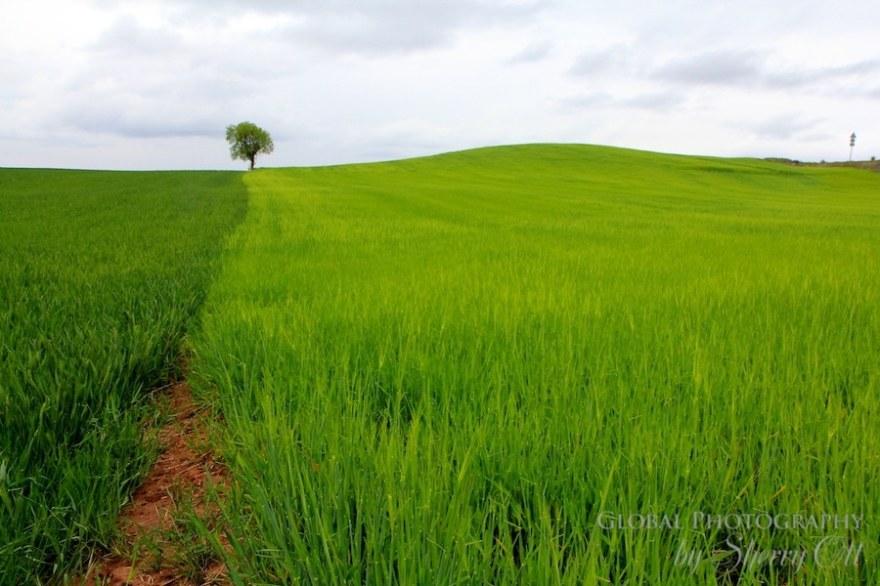 camino de santiago tree