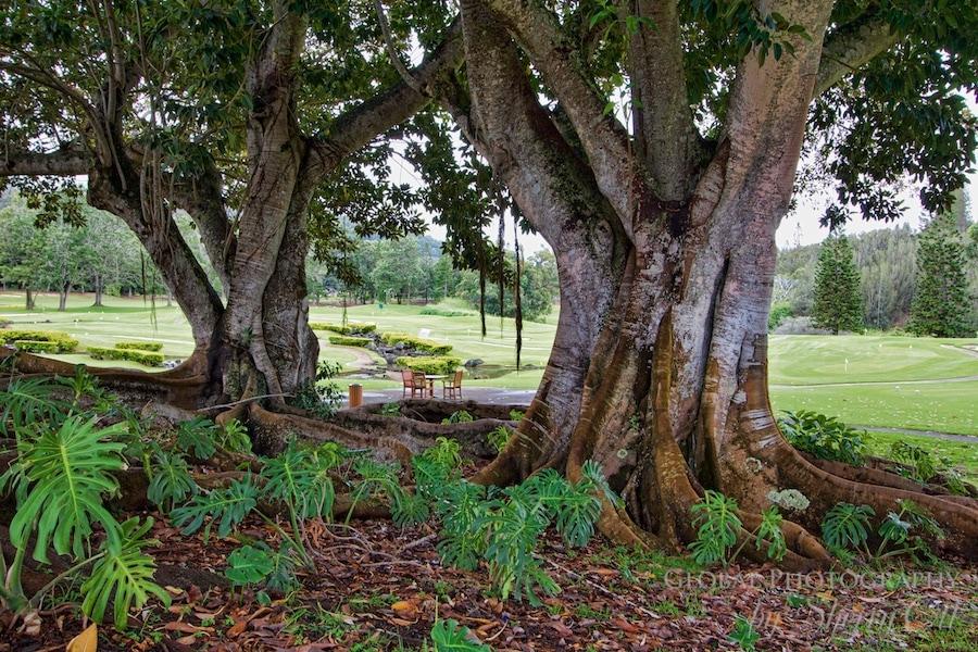 tree hawaii lanai