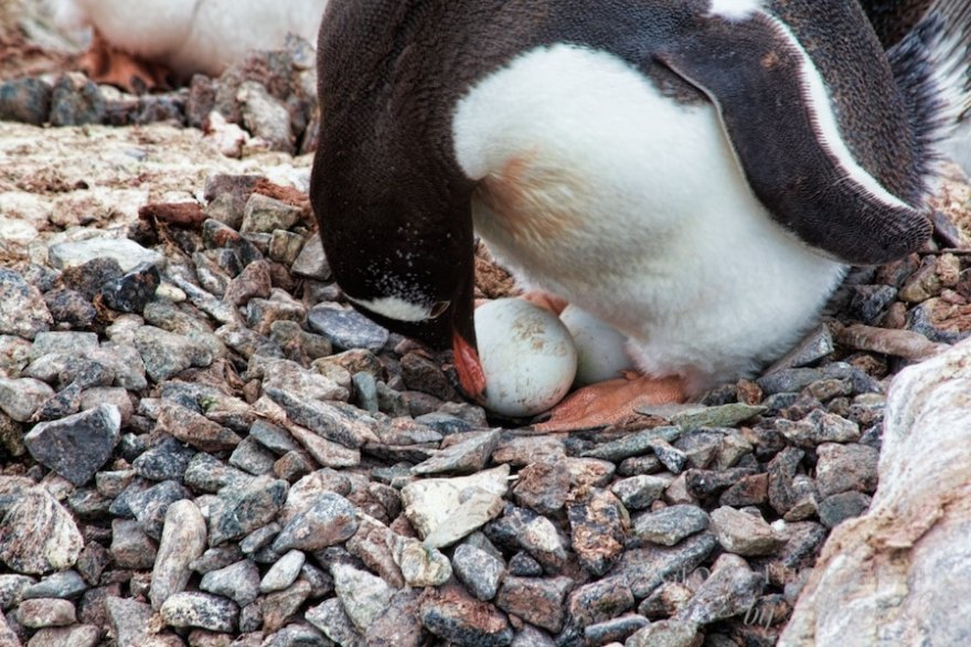 Penguin protecting eggs
