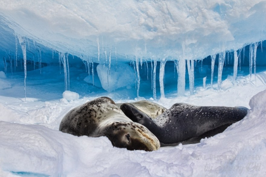 A leopard seal and new baby rest on an iceberg