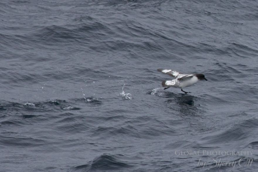 A seabird taking off appears to walk on water in the Drake Passage