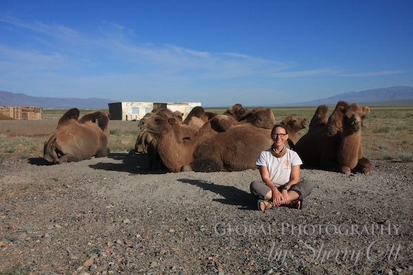 sitting with camels in mongolia