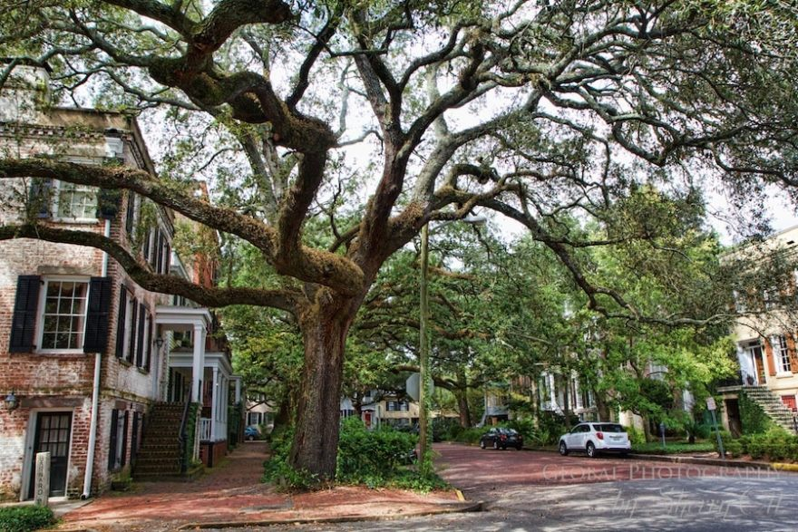 Live Oak tree savannah