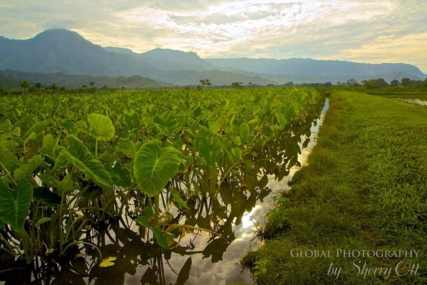 taro field hawaii