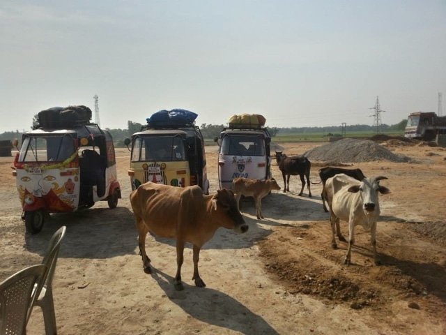 cows surround the richshaws in India