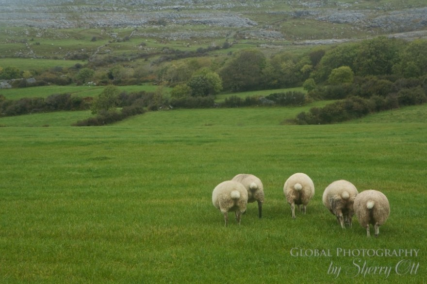 The Burren Ireland sheep