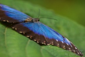 belize butterfly