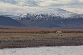 Wrangel Island polar bear