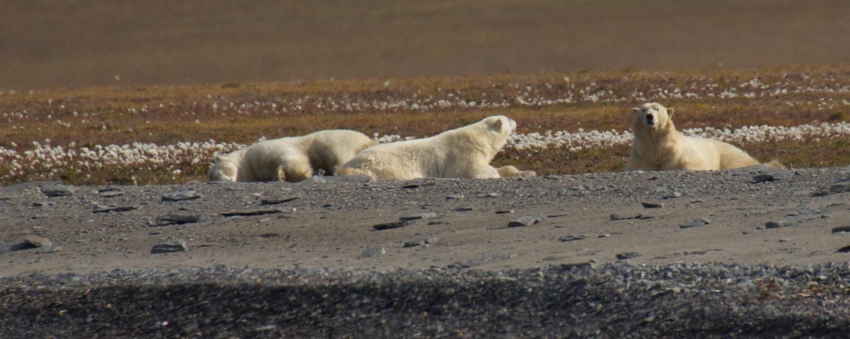 polar bears wrangel island tundra