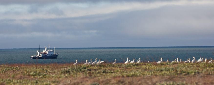 Snow geese wrangel island