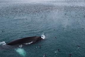 Finn Whale Bering Strait