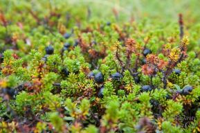 tundra plants blueberries