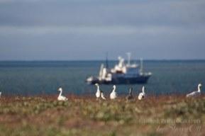 Wrangel Island snow geese