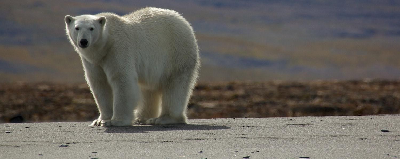 animals in the arctic